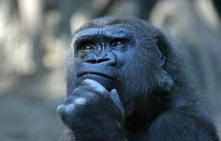 gorilla-in-thought