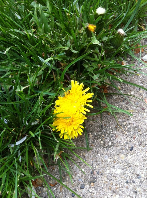 dandelion/faith/inspirational/encouragment