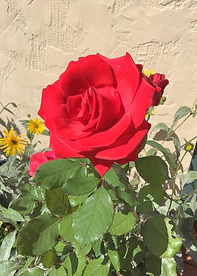 last rose/inspirational